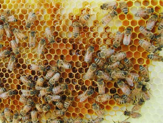 Wax Combs Being Made By Worker Honey Bees